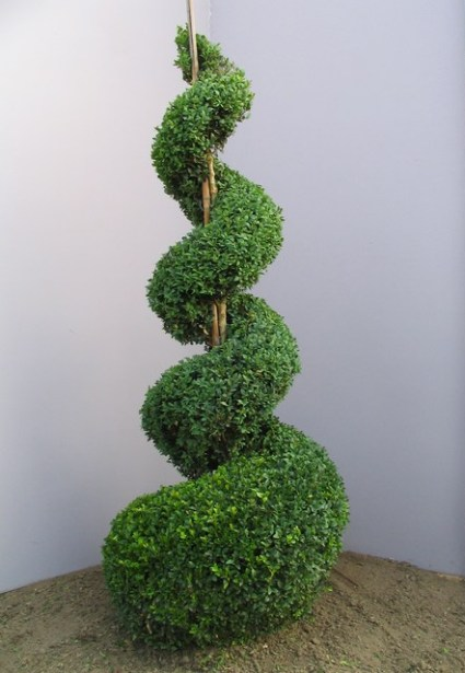 32 Buxus sempervirens Spirale 125-150cm.JPG