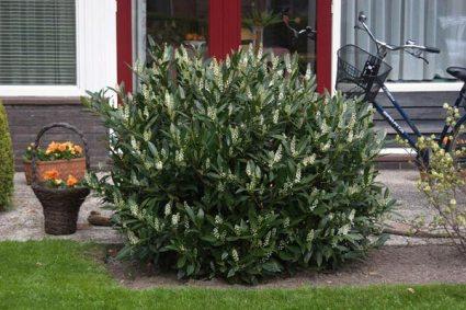 Prunus laurocerasus Otto Luyken.jpg
