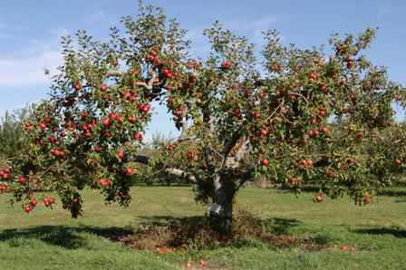 apple-tree-1nhz397.jpg