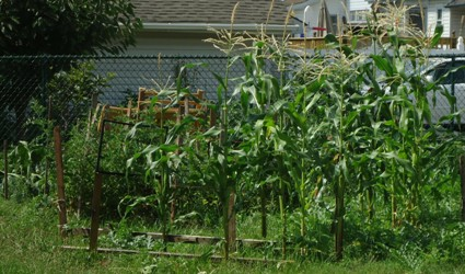 Corn_growing_in_a_backyard_garden_in_New_Jersey.jpg