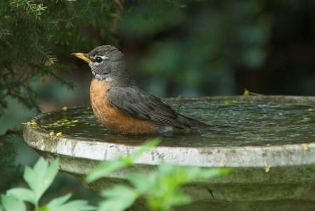 robin-in-birdbath-istock.jpg