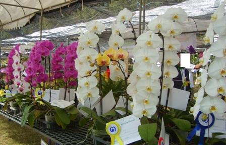 Phalaenopsis Orchid Flower Picture 03.JPG