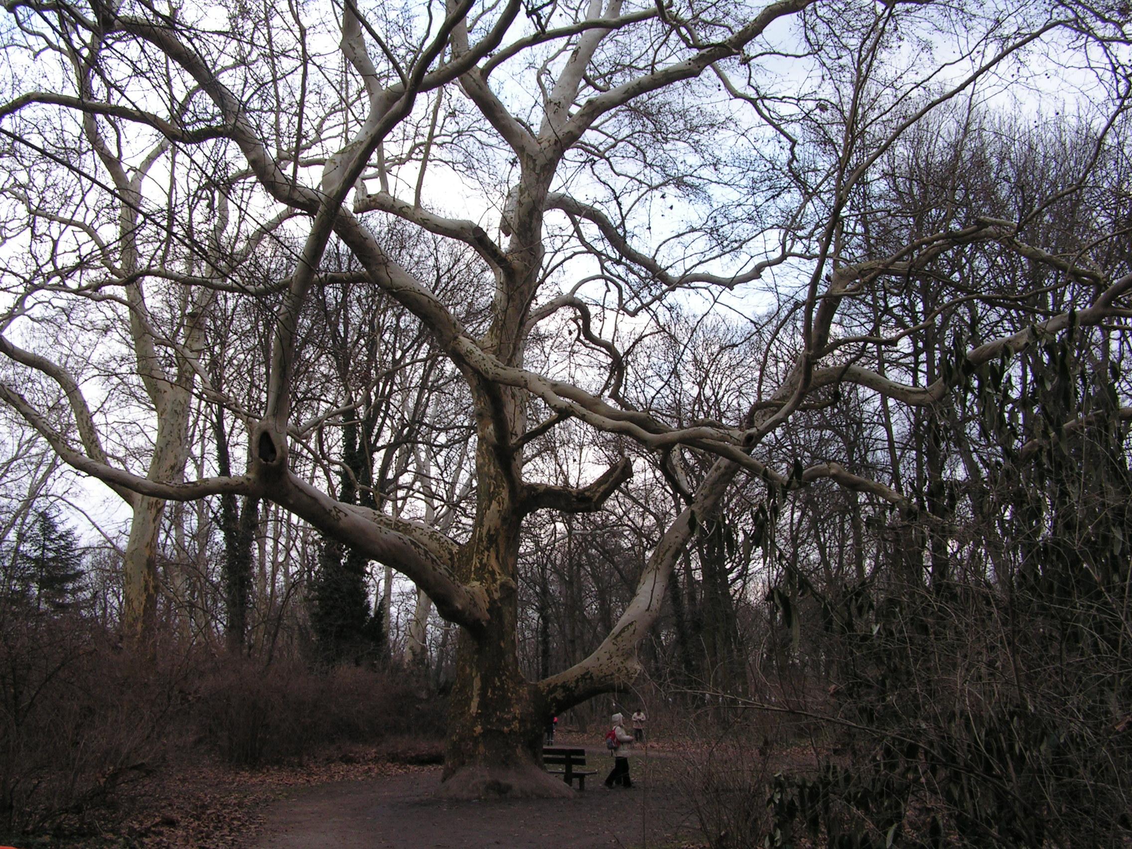 Egy gyönyörű platán fa (ez már nem a szigeten van)