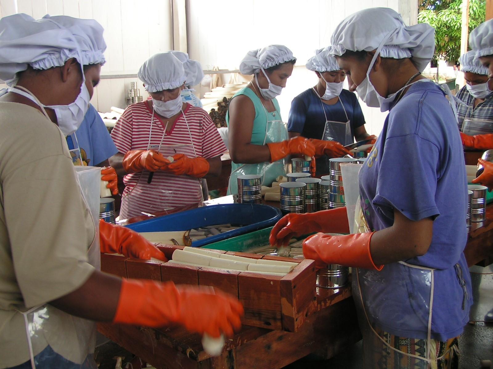 Készül a pálmaszívkonzerv egy amazóniai gyárban