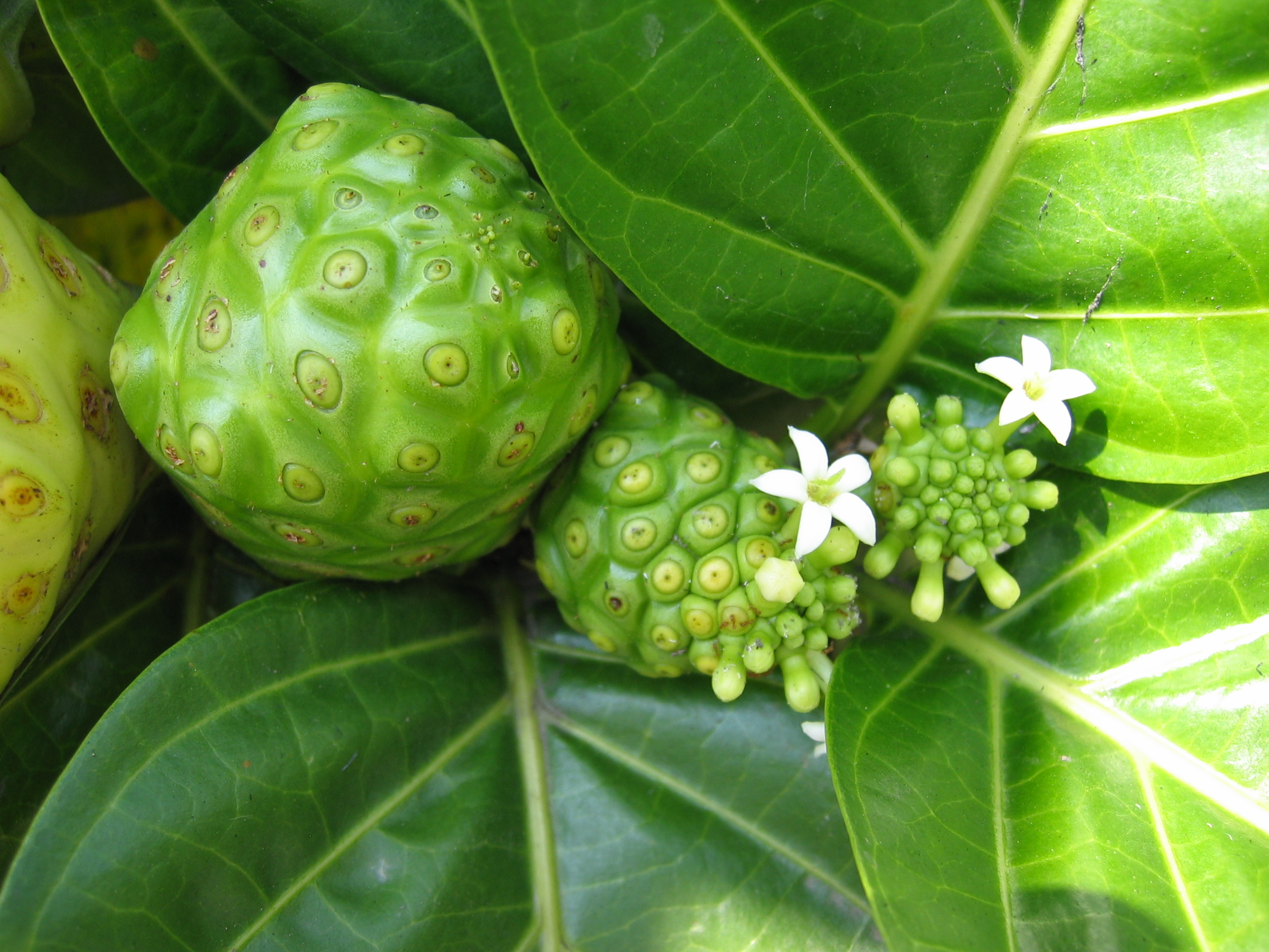 Noni_fruits_and_flowers_(Morinda_citrifolia).JPG