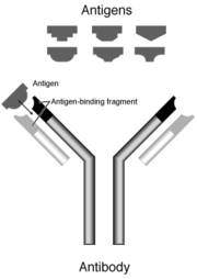 180px-antibody.png