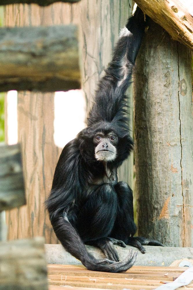 állatkert_sziamang.jpg