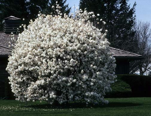csillagviragu-magnolia.jpg
