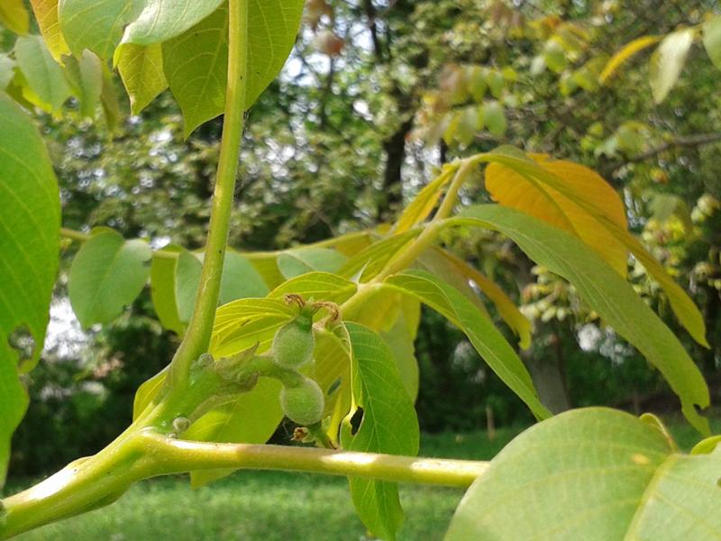 Elvirágzott diófavirág, diótermés kezdemény