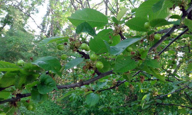 Alakul a cseresznye (vagy meggy) termésünk