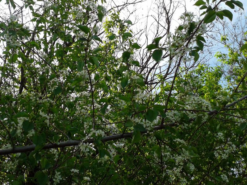 A ferdefa virágba borult ága.