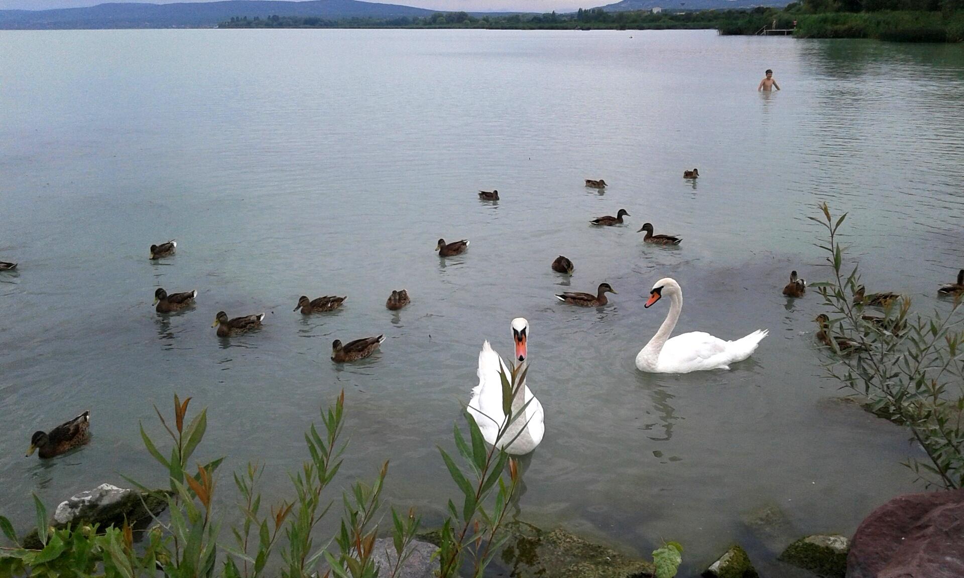 Balaton, kacsák, hattyúk. A száraz kifli nincs a képen.