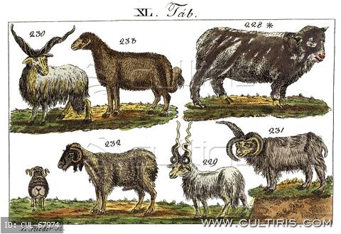 xix-szazadi-termeszethistoria-korabeli-allatleirasok-es-rajzaik-spanyol-j-tekerszarvu-j-magyarjuh-sokszarvu-j-szelesfarku-j-hosszufarku-j.jpg