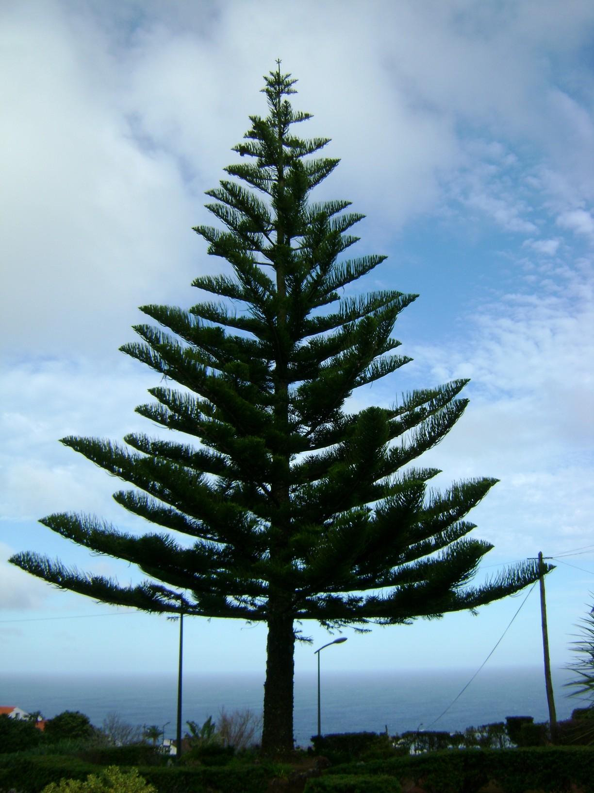 azori szigeteki_fenyő.jpg