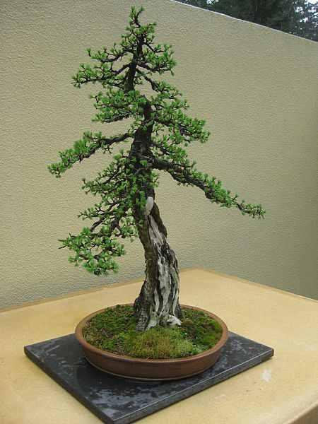 vorosfenyo.bonsai_.jpg