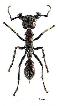 A hártyásszárnyúak méregkeverő mestere: a 24 órás hangya