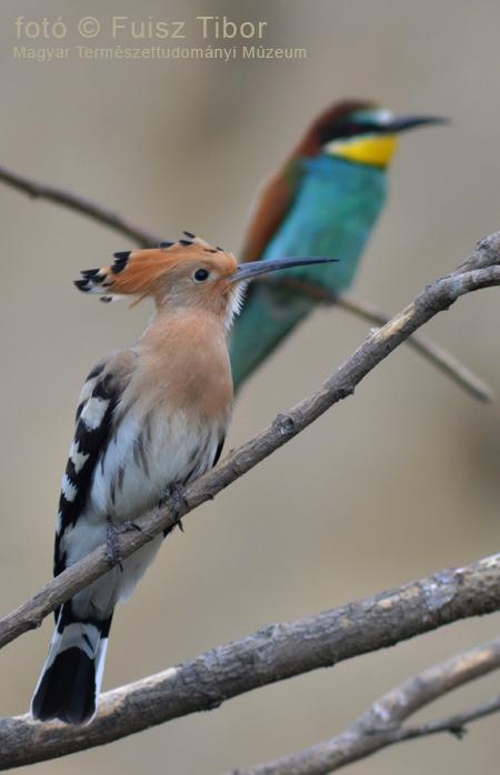 A búbosbanka (Upupa epops) az év madara 2015-ben