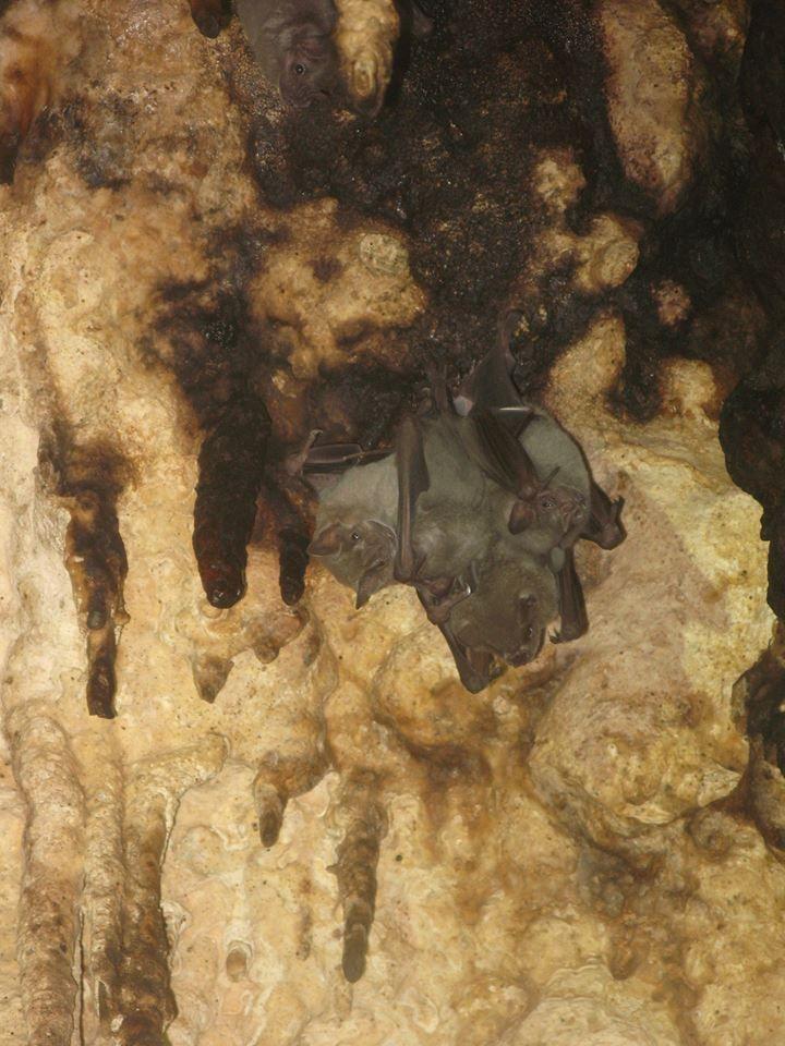 A vámpír denevérek számos faja él Mexikóban. Merülések során a levegős termek mennyzetén gyakran találkozhatunk velük. Fotó Angyal D.