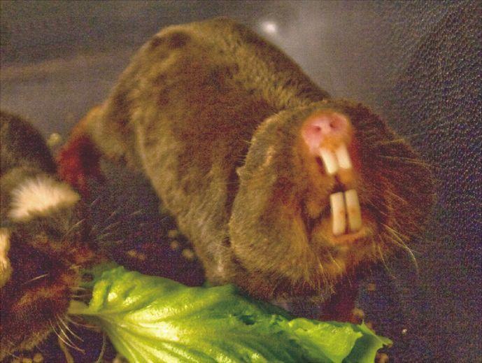 damaraland_mole-rat.jpg