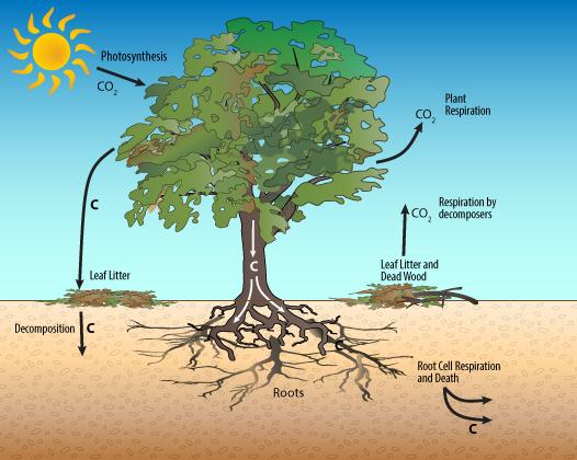 terrestrial_carbon_cycle.png