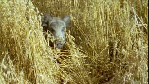 828363242-oat-field-wild-boar-running-wilderness.jpg