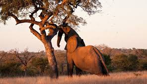 elefántfa.jpg
