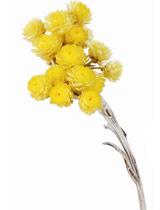 immortelle-flowers.jpg
