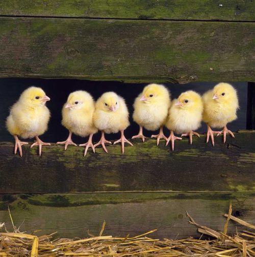csirkek2.jpg