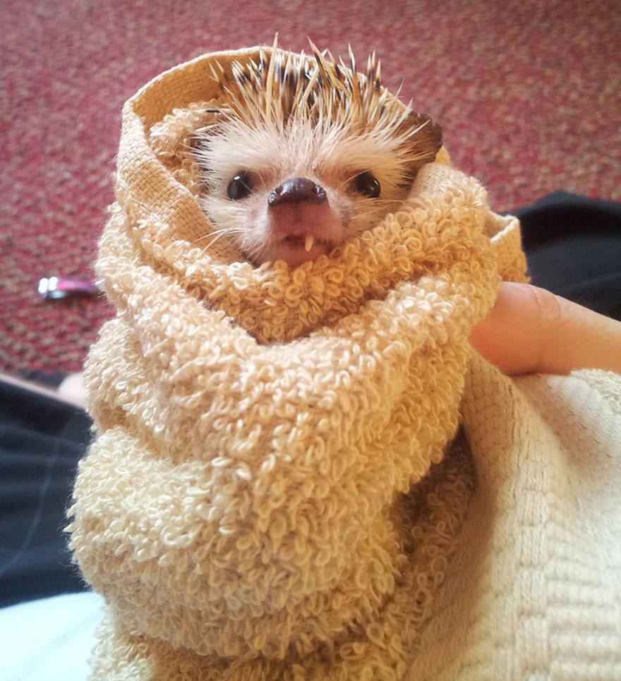 norman-cute-hedgehog-brett-jessie-1.jpg