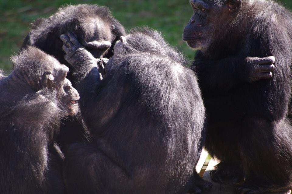 csimpánzok.jpg