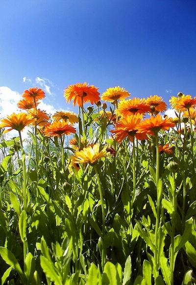 Calendula_officinalis_and_skykicsi.jpg