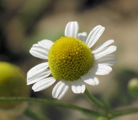 Matricaria_chamomilla.jpg