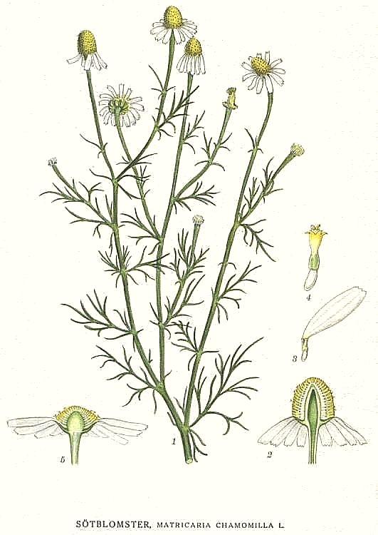 Matricaria_chamomilla_1.jpg
