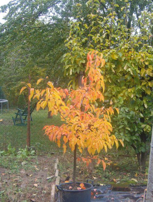 Nashi vödrös őszi lombszíne.jpg