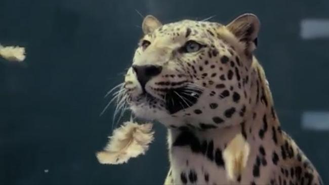 Jaguar-vs-Chicken.jpg