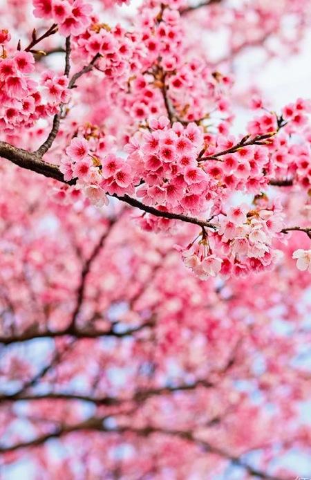 Cseresznyevirágzás a Füvészkertben