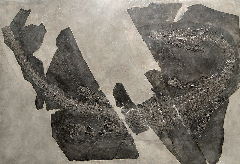 800px-Askeptosaurus.jpg