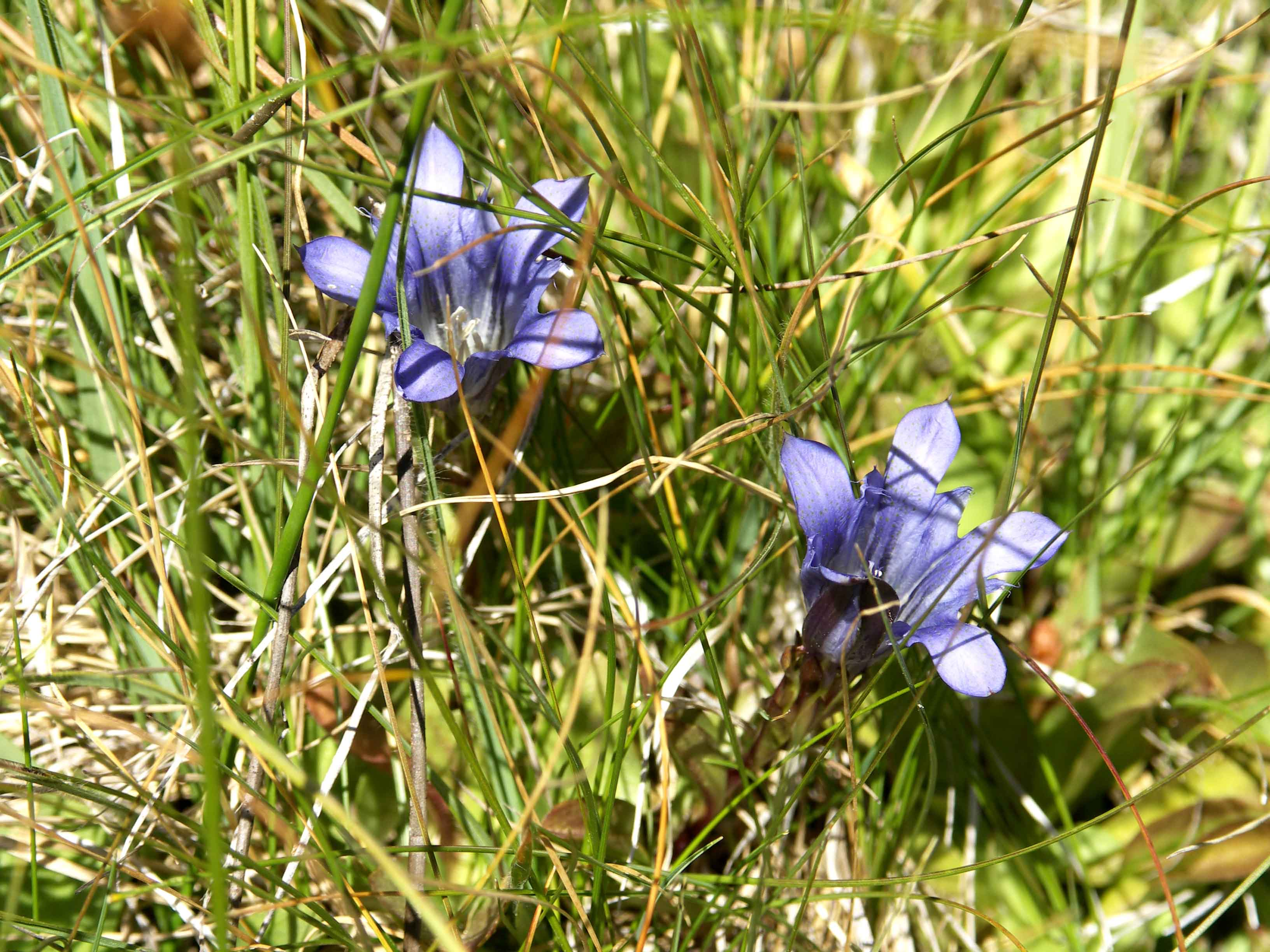 PICT0141Explorer's Gentian (Gentiana calycosa).JPG