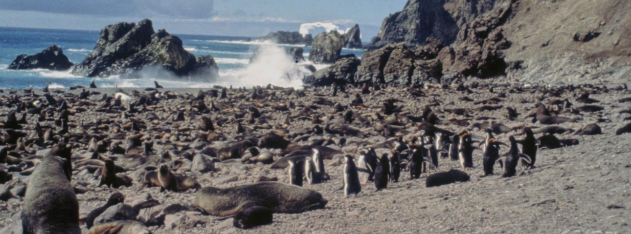 bouvet_nyrøysa_fur_seal_chinstrap_penguins_(c)_vidar_bakken.jpg