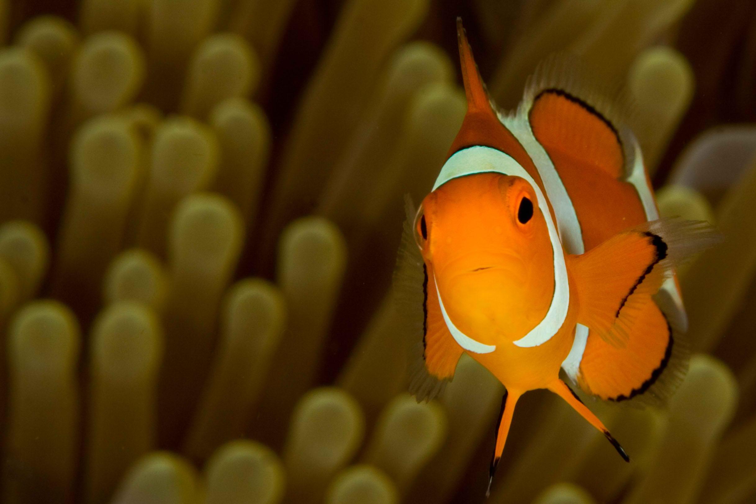Clownfish_2.jpg