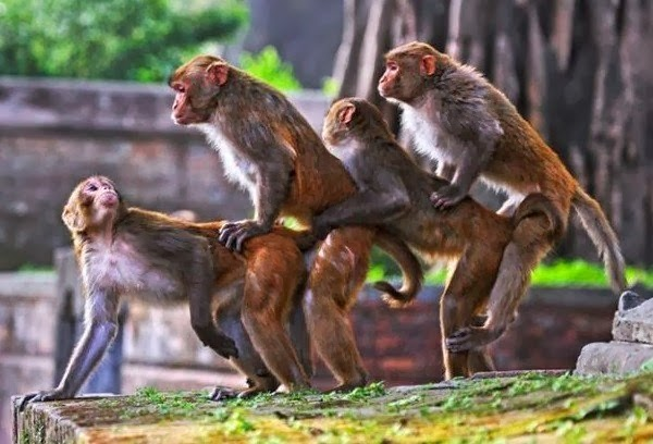 Mating Monkeys And Humans Image