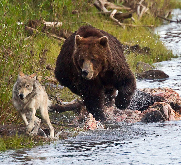 Egy farkasszőrszálnyin múlott