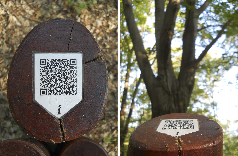 """""""Erdei QR-kód"""" a Naszály csúcsára vezető út mellett. """"Megfejtés"""": Ez a hatalmas háromtörzsű bükk a korábbi bükkös erdő emléke. Erről a fafajról kapta a Bik-kút a nevét"""