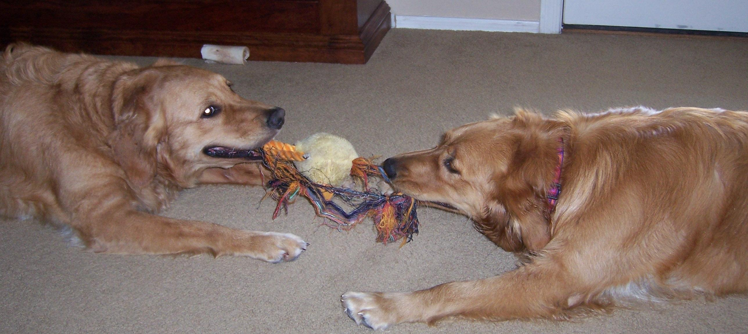 Dogs_playing.JPG