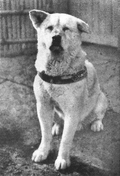 1925. Hachiko az akita, aki 9 éven keresztül várta a vasútállomáson gazdáját, egy japán professzort, aki a munkahelyén szívrohamban meghalt..jpg