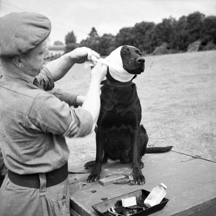 1944. Bayeaux, Franciaország. Jasper, az aknakereső kutya sérült fülét kötözik..jpg