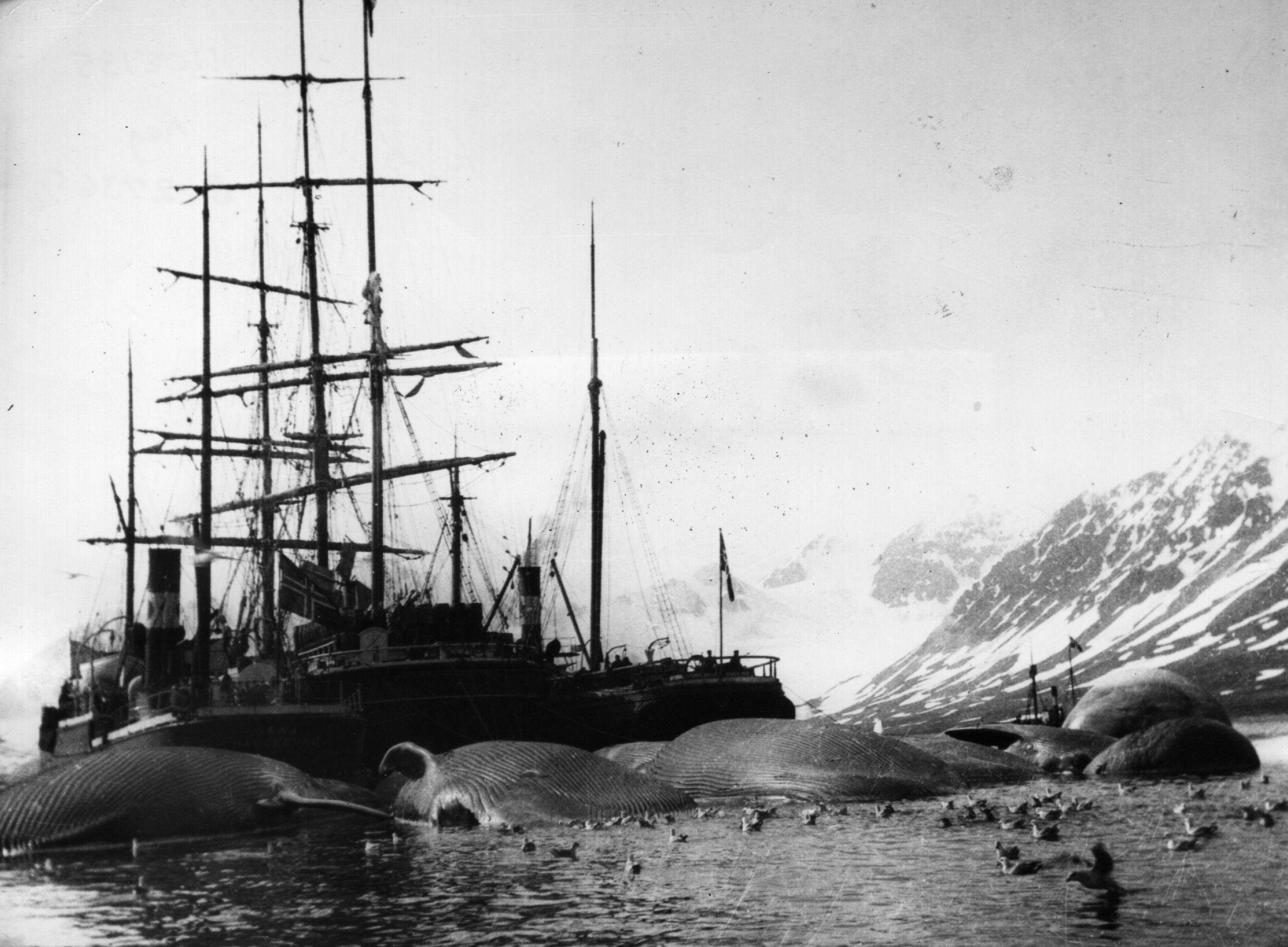 1905. Bálnavadászhjó és zsákmánya a Spitzbergákon..jpg