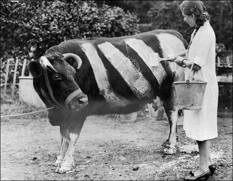 1941. Brit farmerek az elsötítés miatti balesetek megelőzésére, csíkosra festették teheneiket, hogy a világítás nélkül közlekedő autók könnyebben észre vegyék őket..jpg