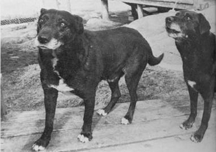 1980. Egy mára kihalt kutyafajta utolsó példányai. St John's Water Dogs..jpg
