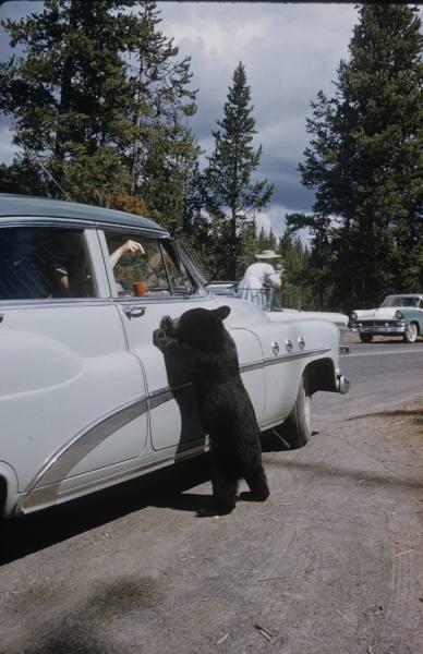 1950-es évek. Turisták etetnek egy medvebocsot a Yellowstone nemzeti parkban..jpg